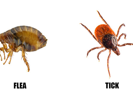 What's the Difference Between Fleas and Ticks?