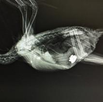 xray of bird at exotic pet vet new york