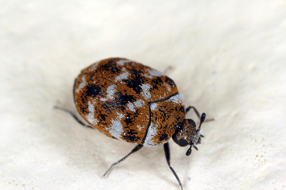 varied carpet beetle Anthrenus verbasci