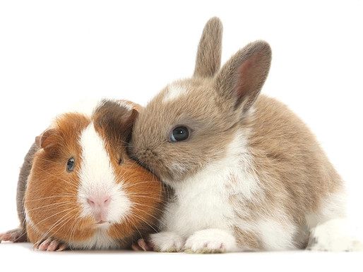 Can a Guinea Pig and Rabbit Be BFFs? 4 Reasons Why This is Not the Best Idea