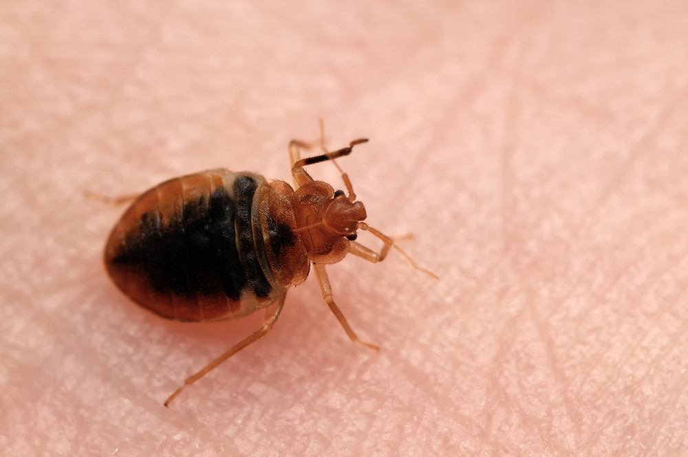 bed bug in the palm of the hand