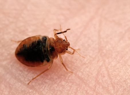 Insects Mistaken for Bed Bugs: Swallow Bugs, Scabies, Bat Bugs, Ticks and Others