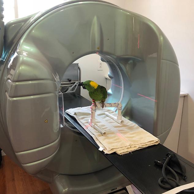 Pet parrot receives Fluoroscopy scan at exotic pet vet new york