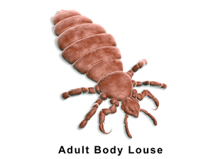 image of adult body lice