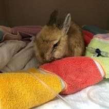 pet rabbit receiving treatment at exotic vet new york