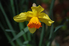 narcissus flower for narcissists