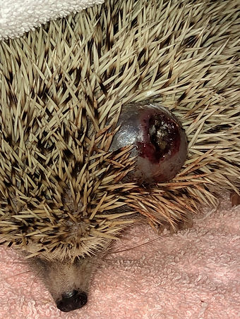 hedge hog with mass at exotic pet vet