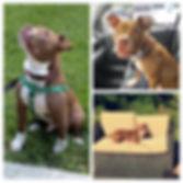 Meet Bam Bam! He's a blind pitbull terrier mix.
