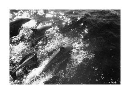 Dolphins Swim.jpg