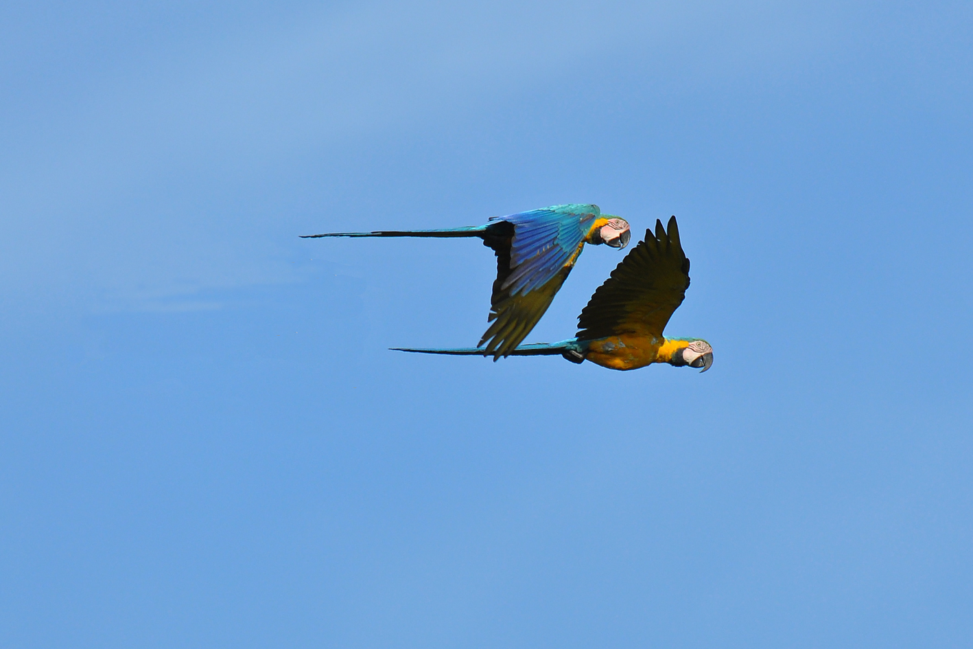 blue_and_yellow_macaws_madidi_park.png