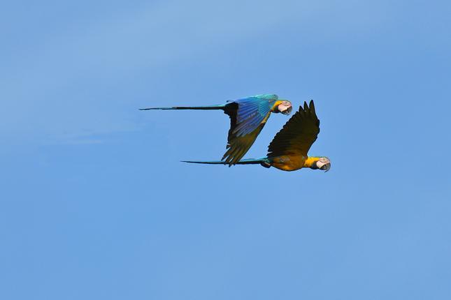 blue_and_yellow_macaws_madidi_park.png
