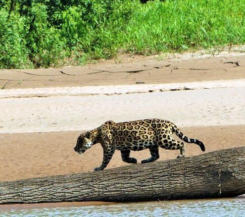 jaguar_madidi_park.JPG