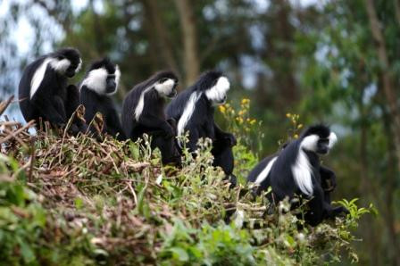 A group of Black and White Angolan Colob