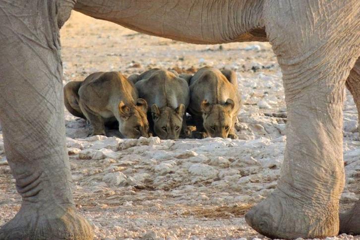 Day 3 - Lion _ elephant at waterhole in