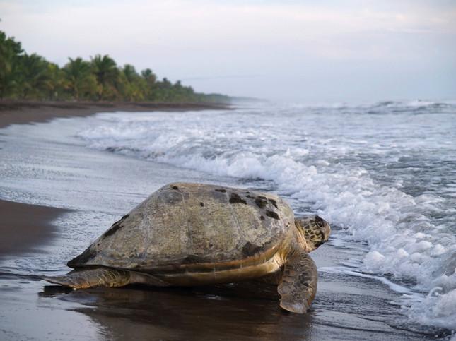 ESY-003814550 - Sea turtle,Tortuguero National Park.jpg
