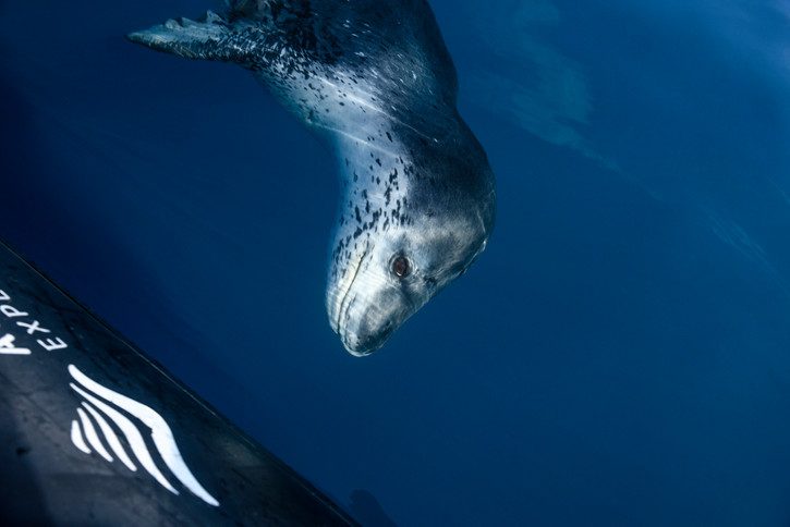 Antarctica_Wildlife_Leopard-Seal_Zodiac_