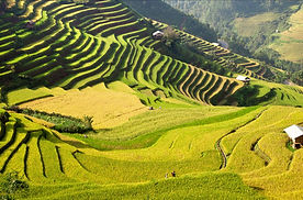 Copy of N005.Gold fields in Mu Cang Chai