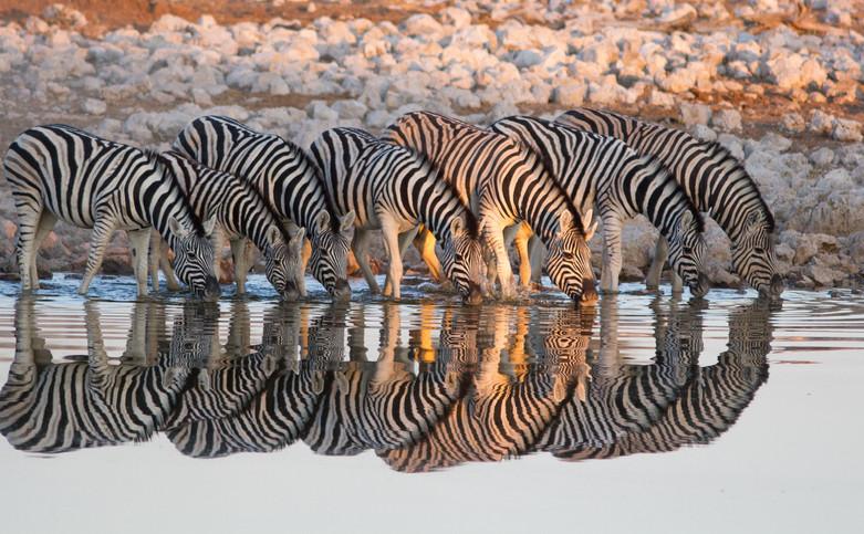 Zebra reflecting at the waterhole.jpg