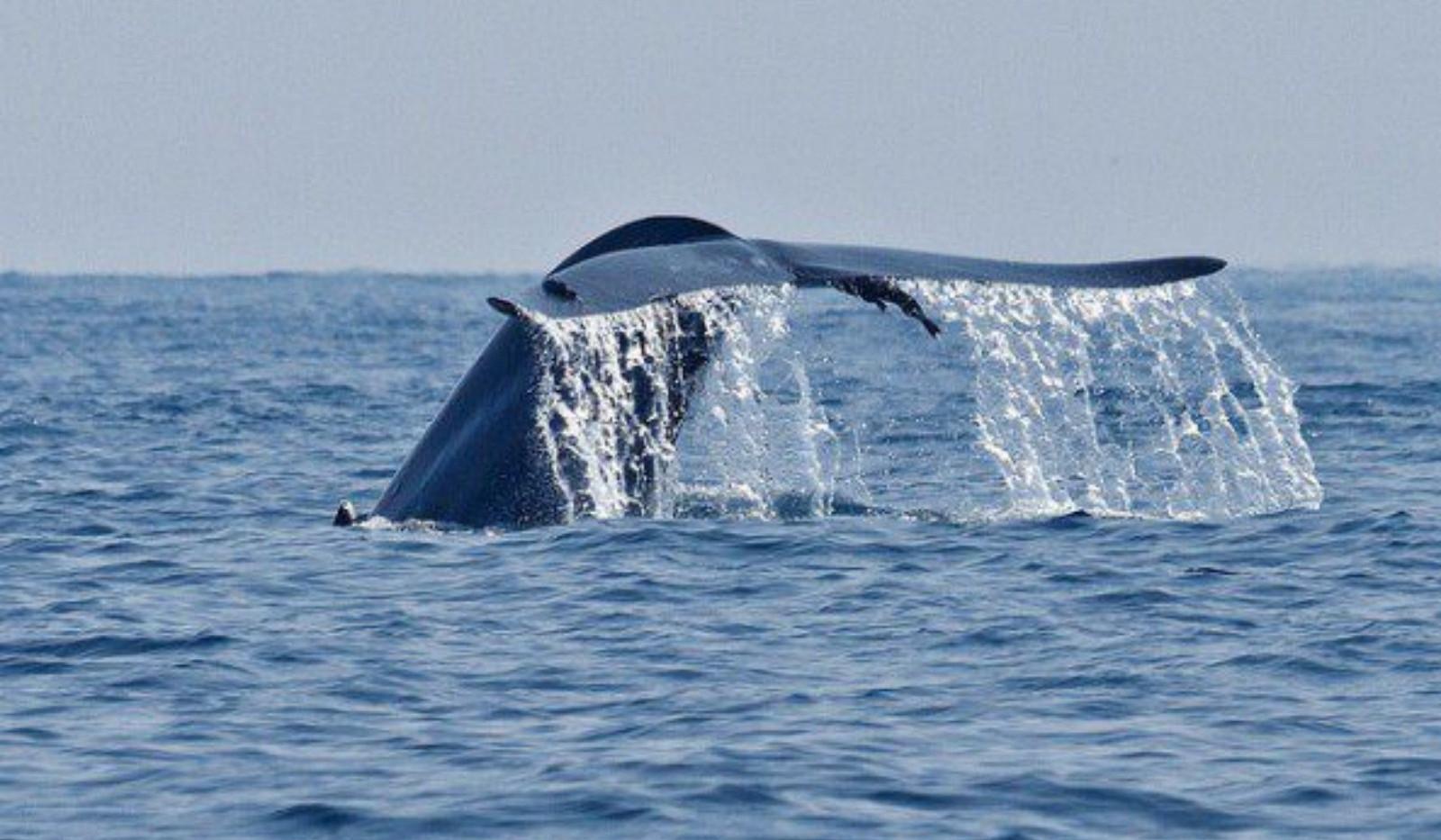 blue-whale-mirissa-65north-593x395.jpg