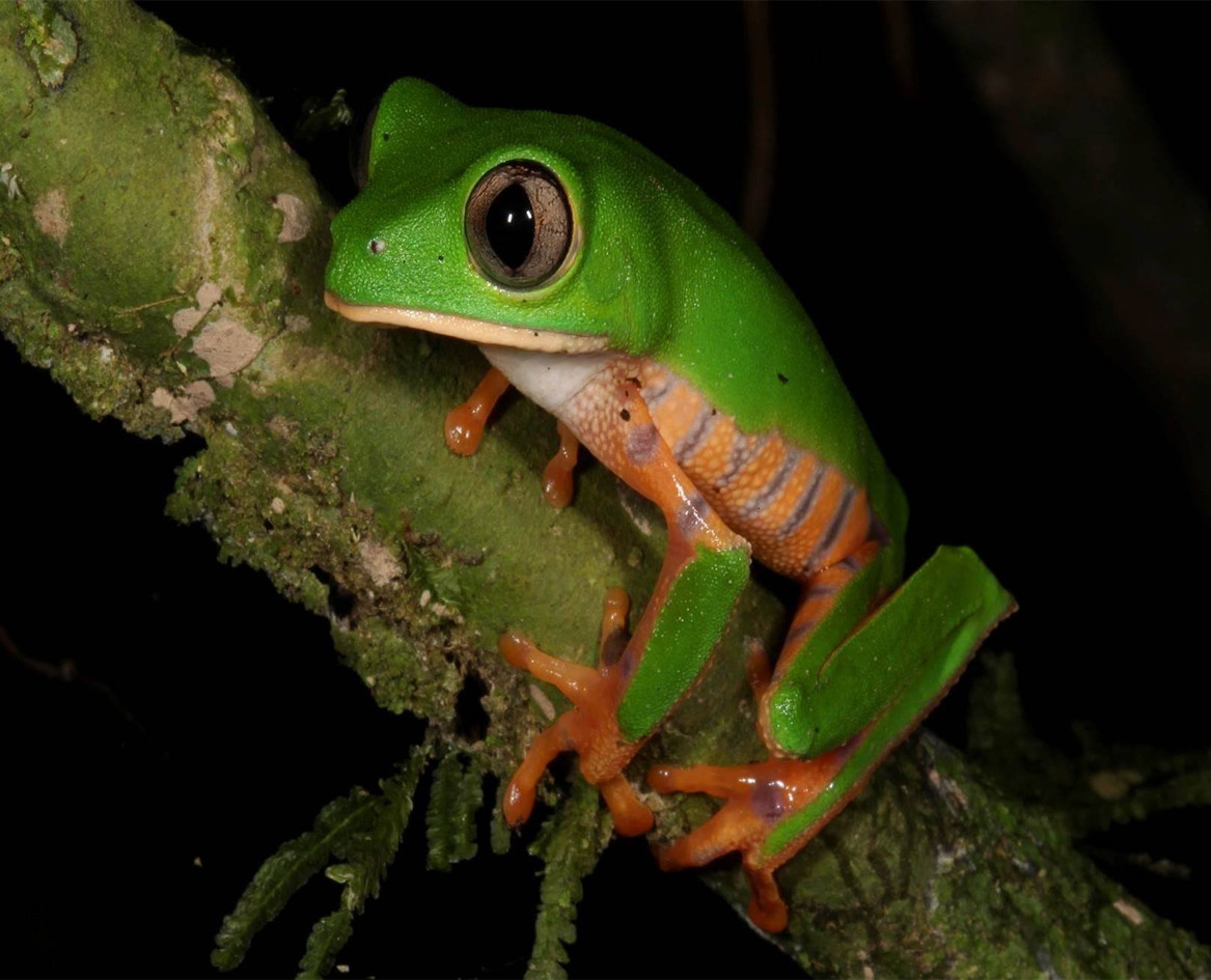 rainforest_frog_madidi_park.jpg