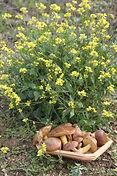 Mustard et champignons.JPG