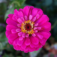 """Bright pink flower spotted in Chicago, """"The Windy City"""""""