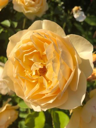BelindaBaker_rose.jpg