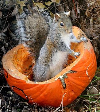 squirrel-in-a-pumpkin 1a.jpg