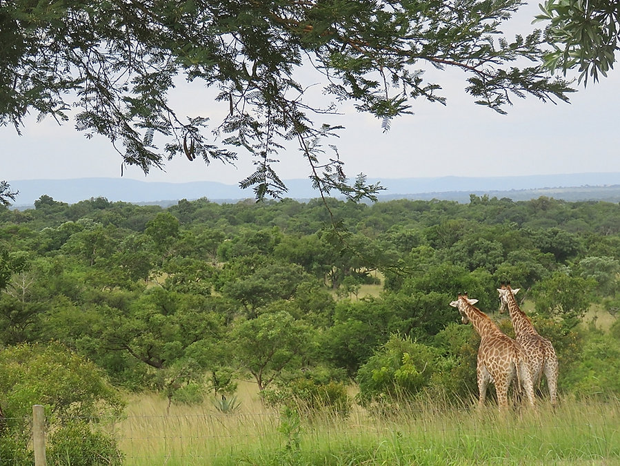 1 giraffe great view Jan 2020 resize.JPG