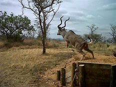 kudu bull 1.jpg
