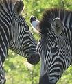 Zebra%20resize%201_edited.jpg