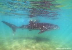 tiburonballena