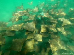 8. Cownose rays