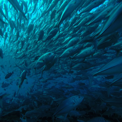 5. One of the biggest jack fish schools