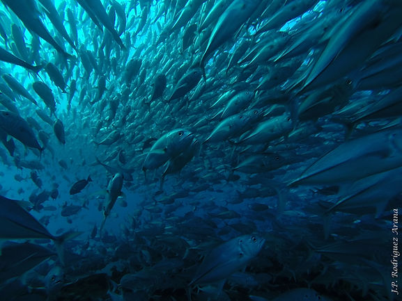 5. One of the biggest jack fish schools
