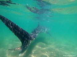 Tiburon ballena. Octubre a Abril