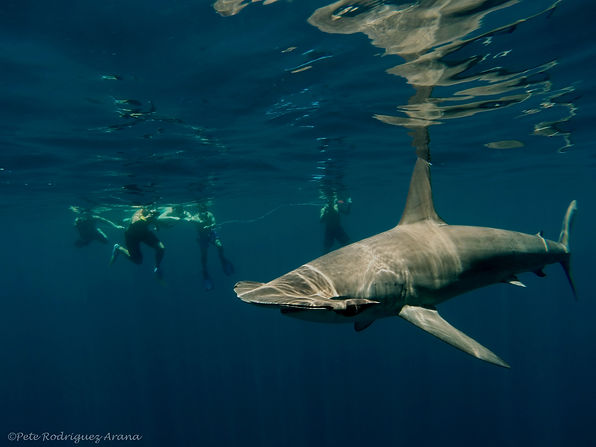 1-Smooth hammerheads are one of our most