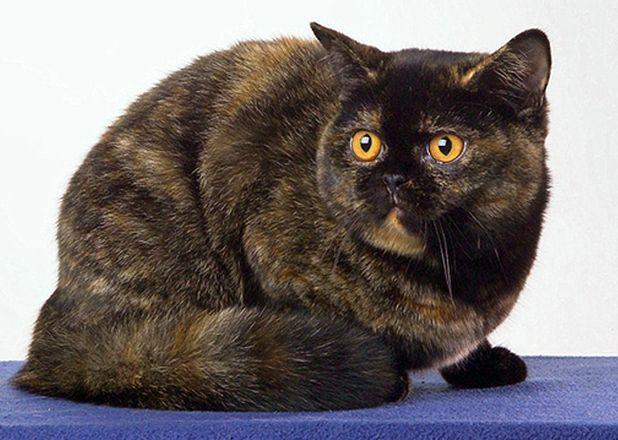Black Tortie British cat