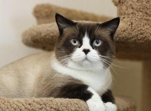 Seal Point Bi-Color British Cat