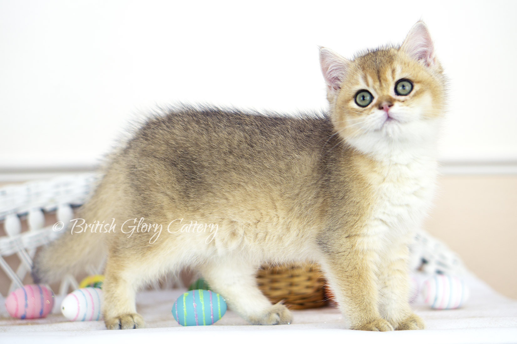 Black Golden Shaded British Longhair Female Kitten with Green eyes