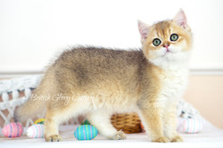 Black Golden Shaded British Longhair Female Kitten with Green eyes