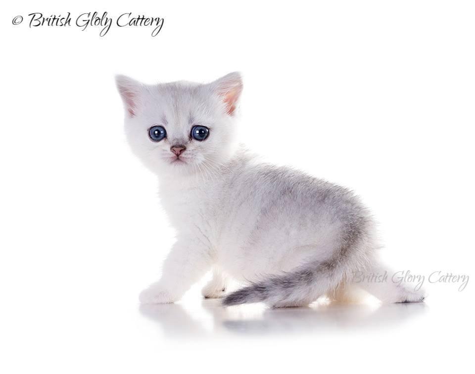 British shorthair cattery | United States | British