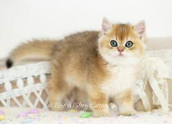 lack Golden Shaded British Kitten