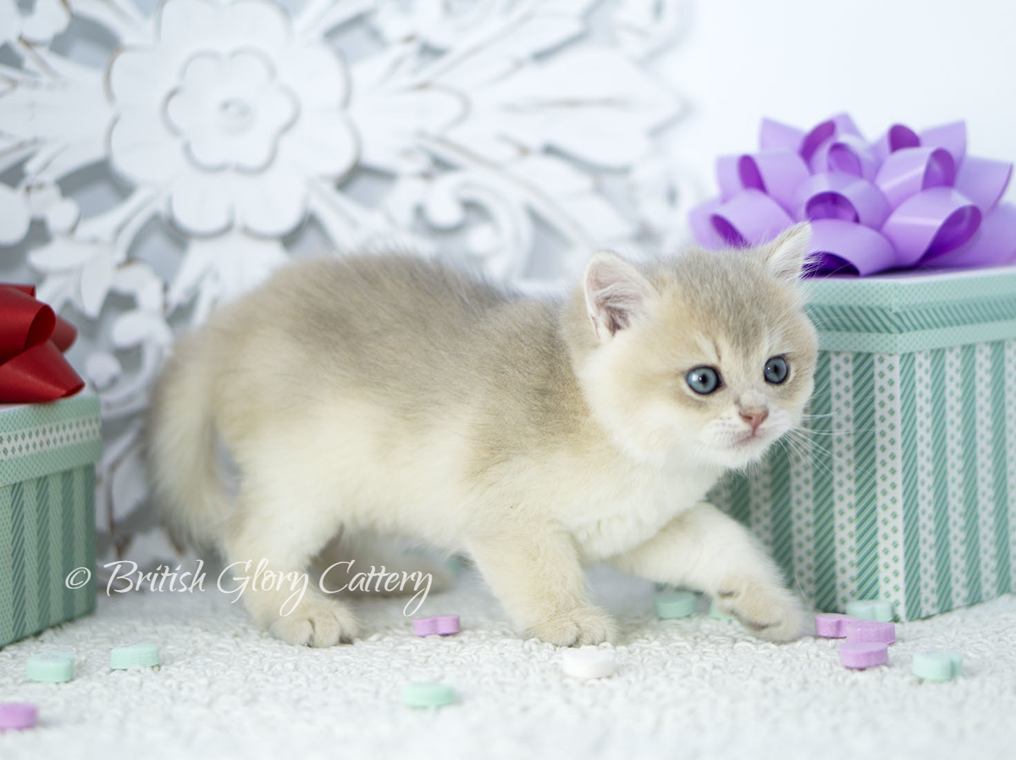 AVAILABLE KITTENS | United States | British Glory Cattery