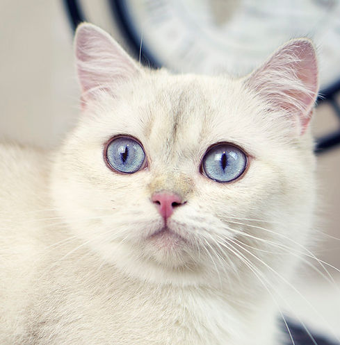 Black Golden Shaded Color Point British Shorthair Female Cat with Blue Eyes