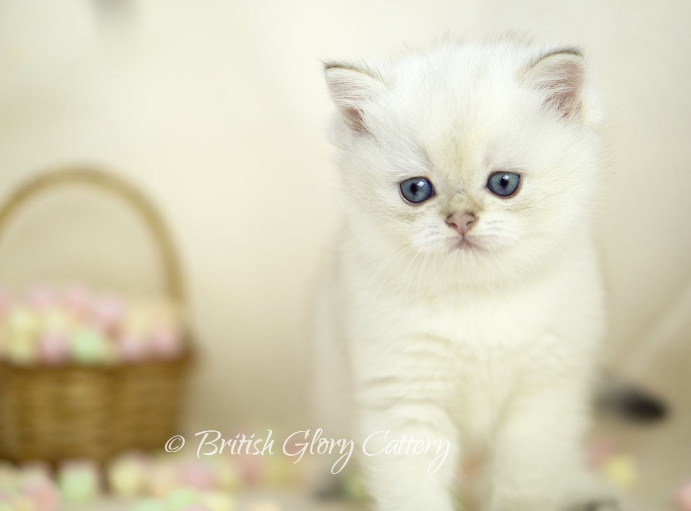 Golden Point British Kitten