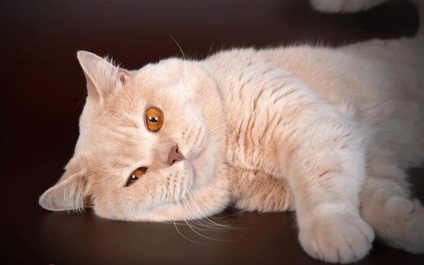 Cream British cat