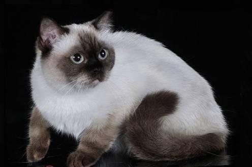 Seal Point British Cat
