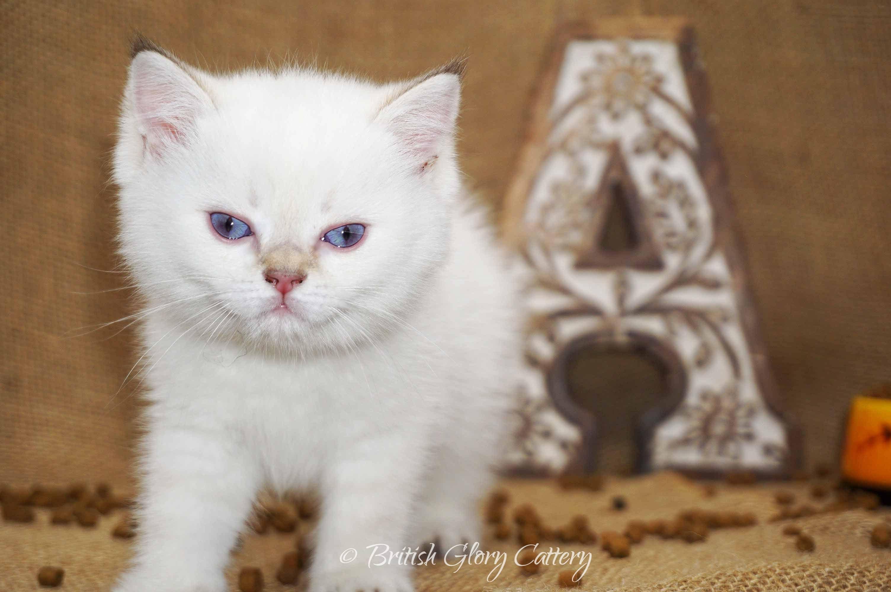 British black golden point kitten