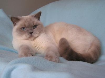 Lilac point British Cat